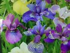 LOT 10 FRESH SPROUTED MIXED BEARDED IRIS RHIZOME BULBS Amish grown mixed