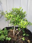 Ilex schillings bonsai decent sized dwarf holly prebonsai tree good stock