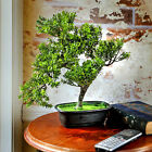 Bloomsbury Market Baby Boxwood Desktop Bonsai Tree in Planter