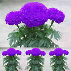 100pcs Purple Marigold Seeds Potted Plant Flower Seed Home Garden Decoration