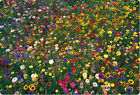 wildflower mix100 seed 1 POUND LB Package of SEEDS seed wild flower