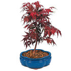 MAPLE RED PRE BONSAI 1 LIVE PLANT Tree Bush GroCo USA