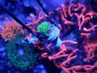 JF Toxic Waste Pavona Lepto Psammocora encrusting coral free shipping over $150