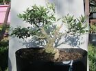Dwarf Holly bonsai tree 1 Ilex schillings fat trunk good taper stunning tree