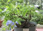incredible plumbago bonsai tree gnarly trunk and blue flowers decent nebari