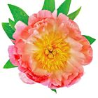 Paeonia Coral Sunset Pfingstrose Blume Blutrot Gelb Rot Staude Wurzel 1/5/10 St.