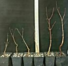 Bonsai Starter Japanese Red Maple Acer palmatum Atropurporeum 3 plants