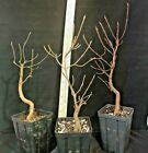 Bonsai Starter Flowering Dogwood Cornus florida 3 plants