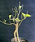 Pre bonsai Flowering Dogwood Cornus florida Special limited 2 Plants