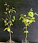Bonsai Starter Parrotia persica Persian Ironwood 2 plants Nice