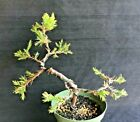 Bonsai Starter Rocky Mountain Juniper Literati 2 plants Nice