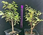 Pre Bonsai European Hornbeam Carpinus betulus FALL SALE Great plants here