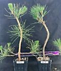 Bonsai Starter Japanese Black Pine end of season SALE 2 plants