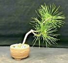Bonsai Starter Scots Pine Shohin Mame end of season SALE 2 plants