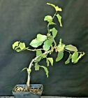 Bonsai Starter Parrotia Persian Ironwood Informal Upright big full