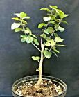 Bonsai Starter Roselow Crabapple back budding limited end of season SALE