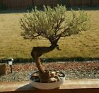 BONSAI STYLE Shakan Slanting 20 + Years old