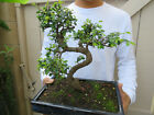 Chinese Elm Bonsai Bonsai Tree Ulmus parvifolia Bonsai Tree