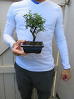Chinese Elm Bonsai ShohinTree Ulmus parvifolia Bonsai Tree Split Trunk