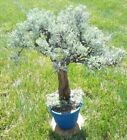 BONSAI Tree  Live Plant 20+ years MoyogiStyle