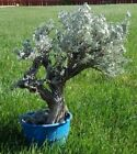 BONSAI Tree  Live Plant 20+ years MoyogiStyle Thick Trunk