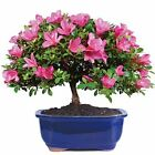 Brussels Live Satsuki Azalea Outdoor Bonsai Tree 8 Years Large