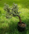 BONSAI Tree  Live Plant 20 + years Shakan windswept Style