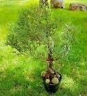 BONSAI Tree  Live Plant 15 + years Juniper with Amazing Deadwood