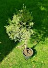 BONSAI Tree  Live Plant 20 + years Juniper with Amazing Roots
