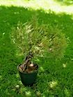 BONSAI Tree  Live Plant 15 + years Juniper with Amazing Roots