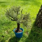 BONSAI Tree  Live Plant 20+ years Dead Wood Naturally attached