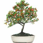 Brussels Dwarf Pyracantha Bonsai Medium Outdoor With Beautiful Red Berries