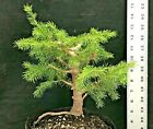 Pre Bonsai Serbian Spruce Shohin Fall sale