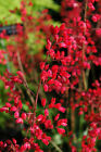 Flower Seed: Heuchera Coral Forest Cora Bells 40 Seeds  Fresh Seed  FREE Ship