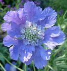 Flower Seed House Hybrid Mix Scabiosa 25 Seeds Fresh Seed FREE SHIPPING