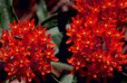 30+ DEEP RED BUTTERFLY WEED FLOWER SEEDS ASCLEPIAS PERENNIAL GREAT GIFT