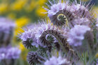 Purple Tansy Fiddleneck Phacelia 1400 seeds!
