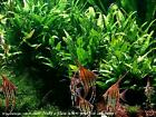 Java Fern x 10 bunches - Ideal for 75 Gallon Tank
