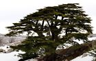 Cedar of Lebanon tree 2 ft tall Live tree Landscape pre bonsai