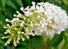 BUTTERFLY BUSH SNOW WHITE 288+ SEEDS BUDDLEIA WONDERFULLY SCENTED FLOWERS