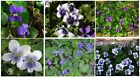 Violet Wild Flower Two Kinds Mixed Purple  White Blue Center over 100 SEEDS