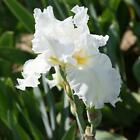 Fragrant 2 White Iris Balcony Cloud Ballet Large Bulb Gifts Bloom Stunning Plant