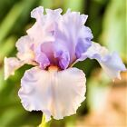 Bearded 2 Iris Roots Bulbs Flowers Stunning Eternal Bliss Fragrant Rhizome Gifts