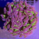 Purple and Green Hammer Single Head Assorted Live Coral