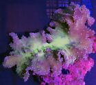 Green Cabbage Leather Coral Live Coral WYSIWYG #23R