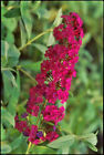 BUTTERFLY BUSH RED 213 SEEDS BUDDLEIA DAVIDII BEAUTIFULLY SCENTED USA SELLER