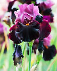2 Beauty Dutch Iris Bulbs Rhizomes Perennial Flower Impressive Bonsai plant Seed