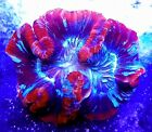 WYSIWYG HUGE RAINBOW TRACHYPHYLLIA  Live Coral LPS THE REEF ISLAND OF NY SPS