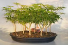 Hawaiian Umbrella Bonsai Tree 9 Tree Forest Group e2142