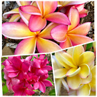 Plumeria Cuttings 4 Pack Hawaiian color combinations available upon request